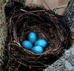 The Egg Moon is both a time of egg laying and associated with the Easter holiday. These robin's eggs certainly look like the colored eggs of the commercialized easter celebration.