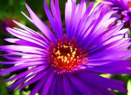 michaelmas-daisy