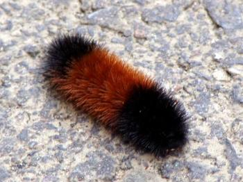 This wooly bear walking across the patio is saying the winter will be mild.