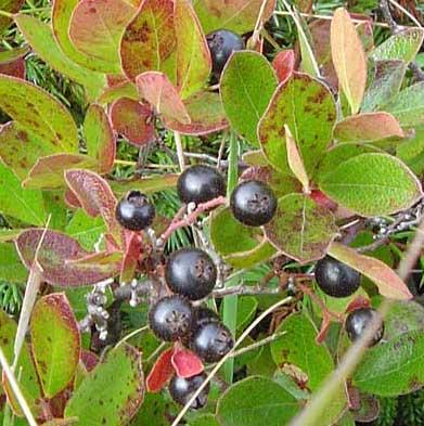 Bog_huckleberry