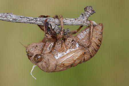 Cicada_skin