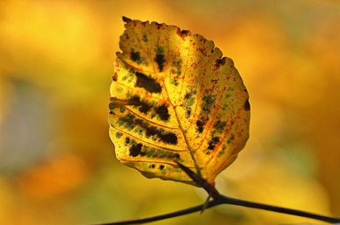 autumnleaf-pixa