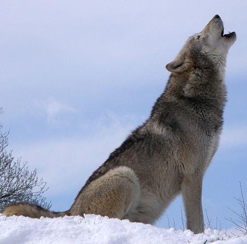 wolf howling wikimedia