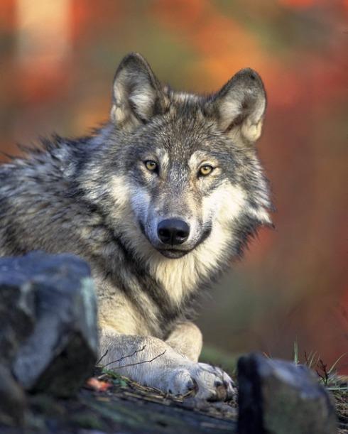 wolf-pixabay