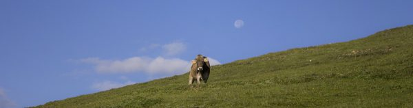 cow grazing under the full moon