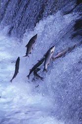 salmon run jumping