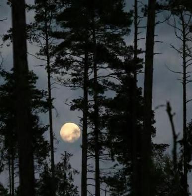 moon through pines
