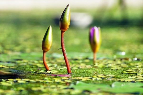 water lily buds