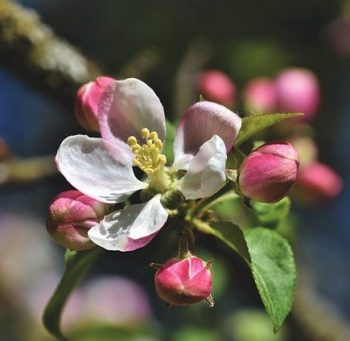 apple blossom pixabay
